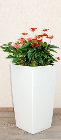 Gefäß, Cubico - Pflanze, Anthurium scherzerianum, orange